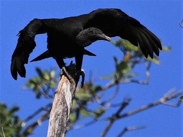 Black Vulture by agednovice