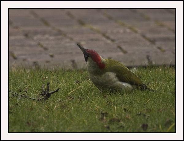 Green Woopecker