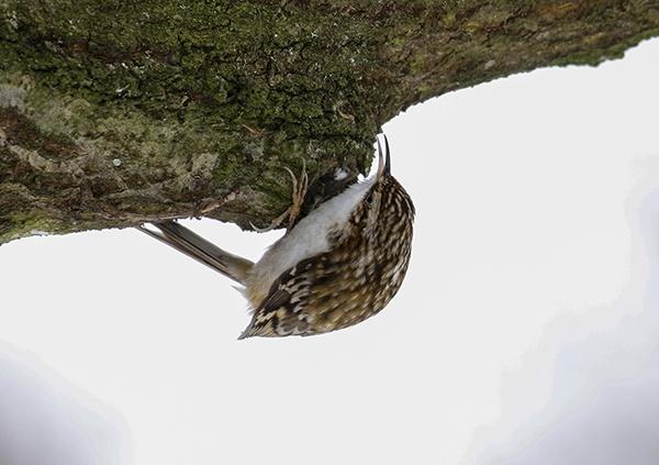 Treecreeper by shaver