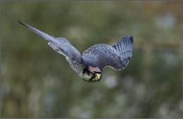 Falcon Stoop