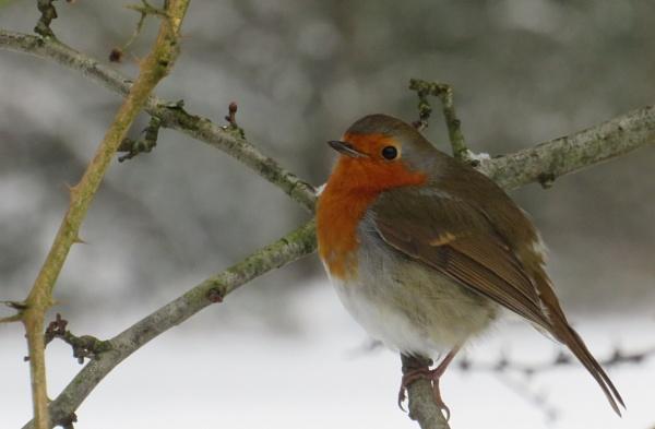 Robin by SUE118