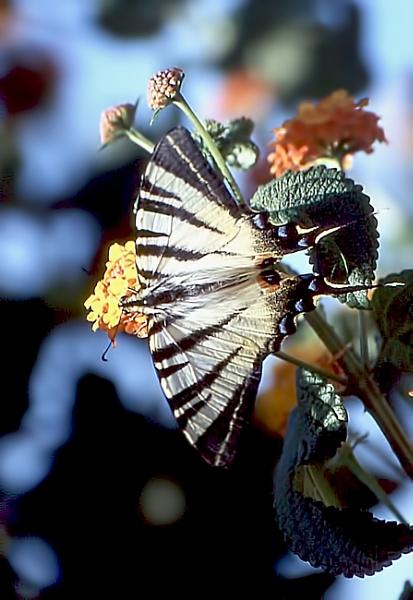 Scarce Swallowtail by TonyDy