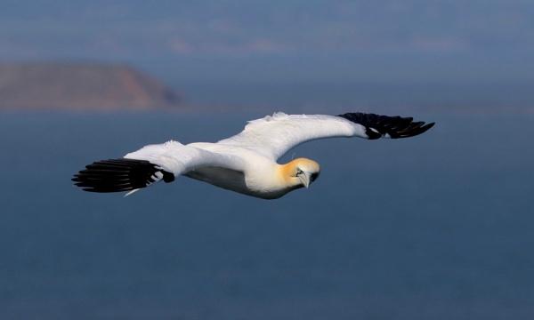 Gannet Fly By by altosaxman