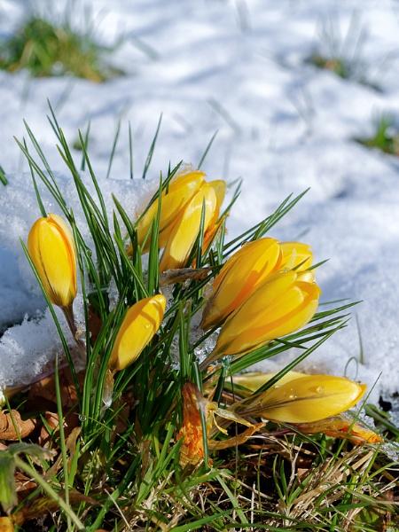 Crocuses Flowering in the Snow in East Grinstead