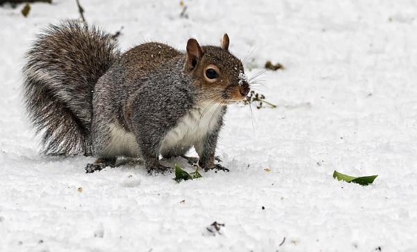 Grey Squirrel by Gordonsimpson