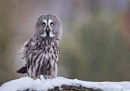 Great Grey Owl in the Snow by pdsdigital