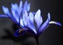 Dwarf Iris by JuBarney