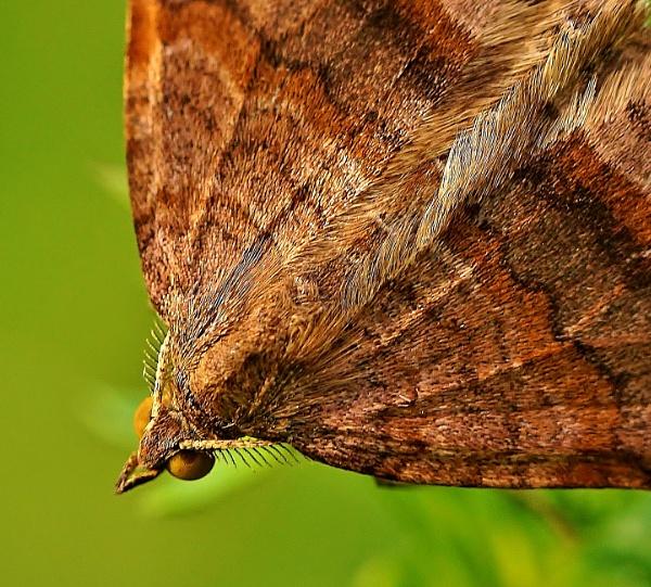 Shaded broad-bar moth macro