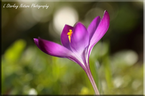 CROCUS by Hoverflylover