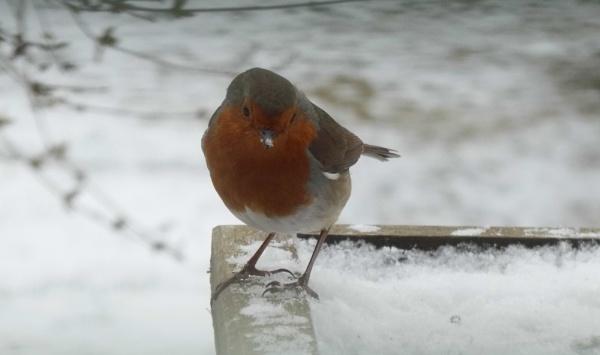 hungry robin by jenny007