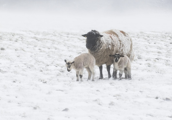 Lambs in the snow by doverpic