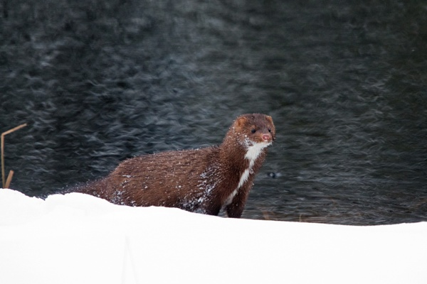 American Mink. by stu8fish