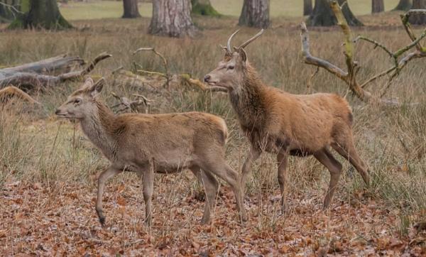 Roaming Deer in Tatton Park by RobertTurley