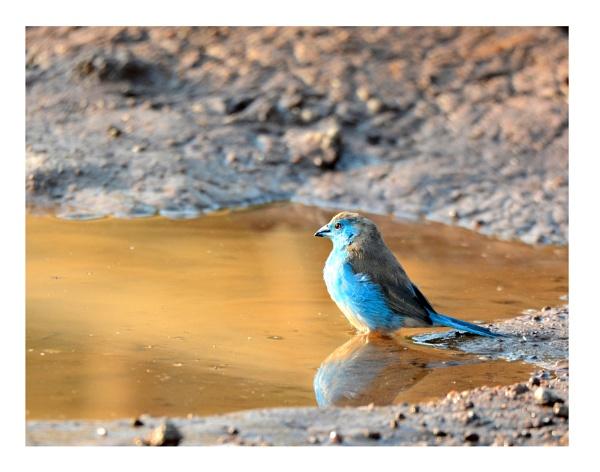 Blue Waxbill by Coen
