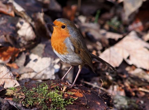 Robin by photowanderer
