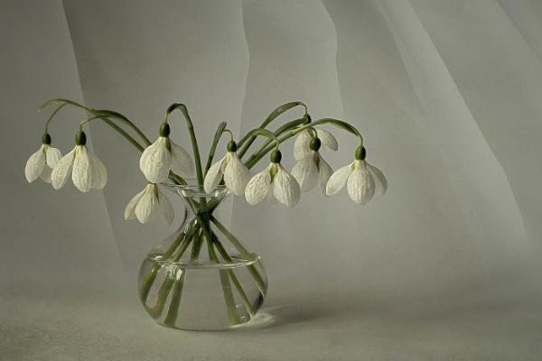 Galanthus Elwesii by flowerpower59
