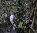 Sparrowhawk by AlanJ