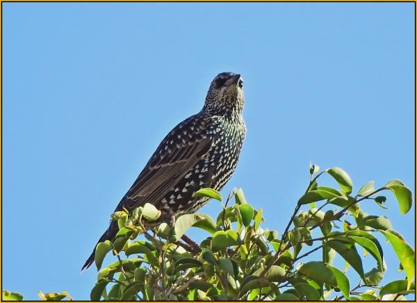 European Starling by fotobee