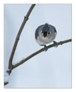 Tufted Titmouse by taggart