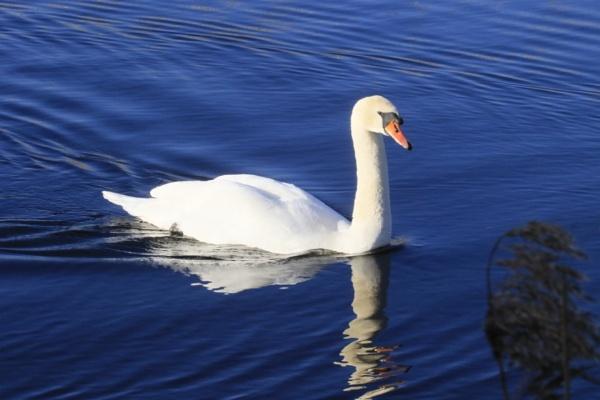 Swan lake by Lencollard