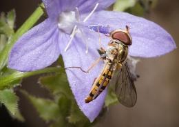 Feeding Hoverfly