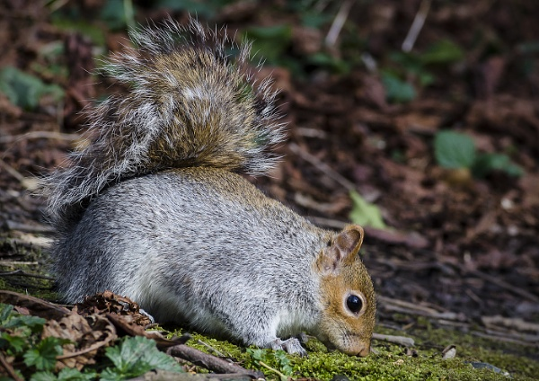 Grey Squirrel by lespaul