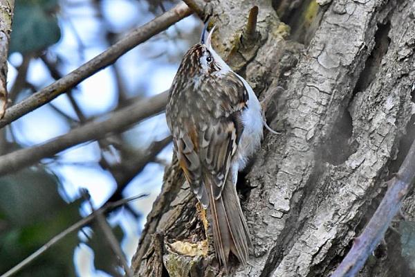 Treecreeper-Certhia familiaris by bobpaige1