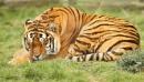 Sleepy Tiger by bobpaige1