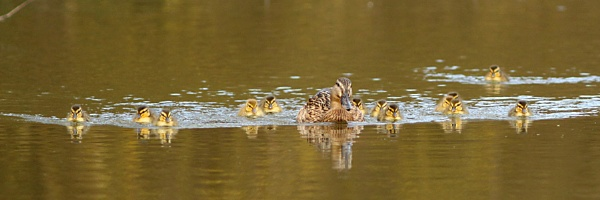Mallard mum with her new chicks. by bobpaige1