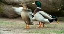 Mallard pair by MikeA