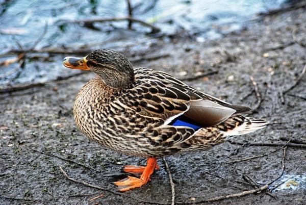 Dapper duck by KrazyKA