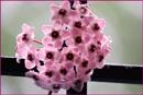 *** Hoya Flower *** by Spkr51