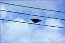 ***  Brahminy Kite *** by Spkr51