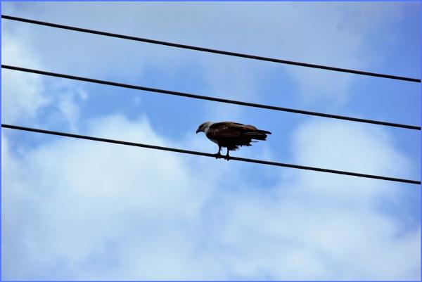 ***  Brahminy Kite ***
