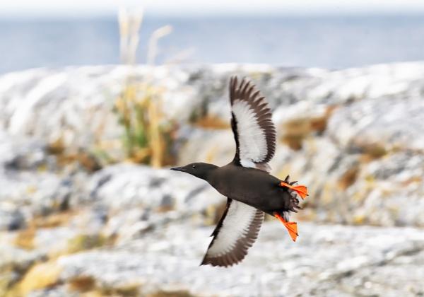 Black guillemot in Norrskär by hannukon
