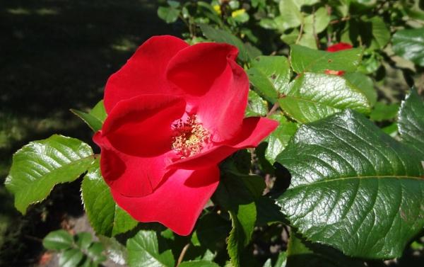 Wild Rose Flower by SauliusR