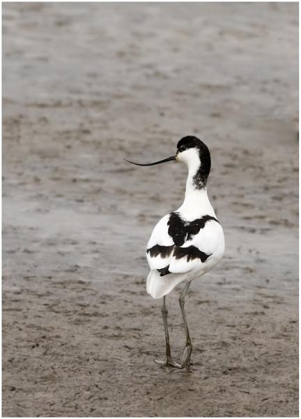 Avocet (Recurvirostra avosetta) by KasiaB