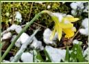 Daffodil by Rock