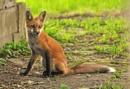Spring fox by jackieo