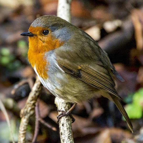 Robin by zwarder