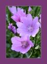 Perkin's Purple by Joline