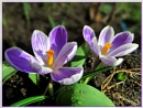 Crocus by Sylviwhalley