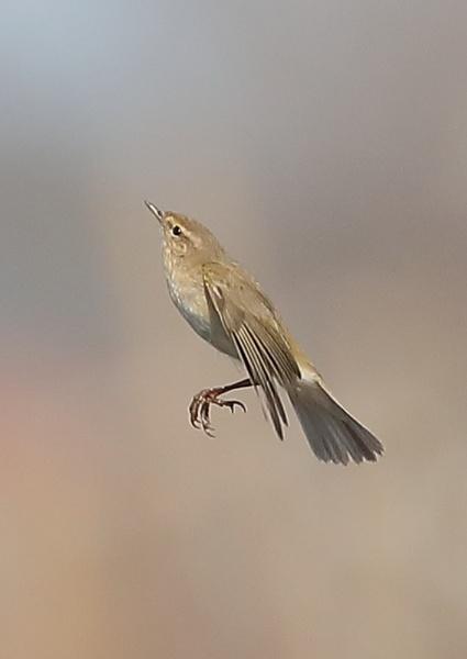 Reed Warbler by NeilSchofield