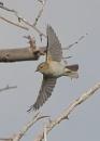 Reed Warblers in Flight by NeilSchofield
