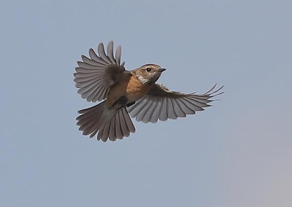 Female Stonechat in Flight by NeilSchofield