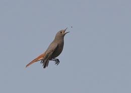 Black Redstart Fly Catching