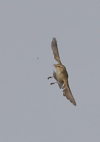 Reed Warbler Feeding in Flight by NeilSchofield