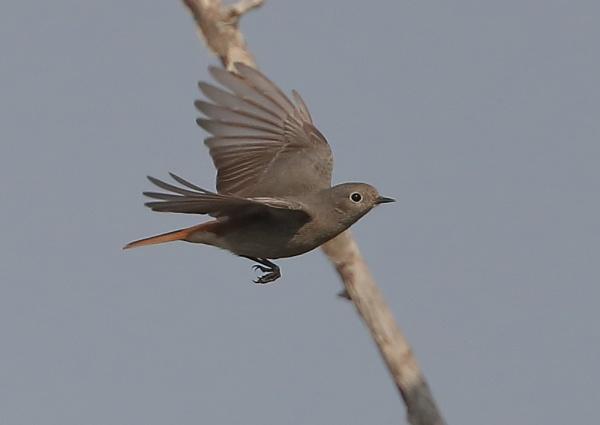 Black Redstart in Flight by NeilSchofield