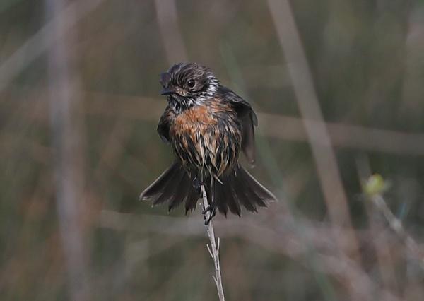 Juvenile Stonechat Fledgling by NeilSchofield