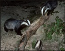 Badgers Foraging.. by Badgerfred
